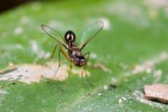 mycket lilla klipska sepsidae Arkivbilder