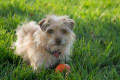 Mycket lilla Terrier Royaltyfri Fotografi