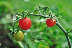 mycket lilla tomater för Cherry Royaltyfri Fotografi