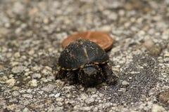 Mycket liten asksköldpadda royaltyfri foto
