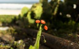 Mycket liten blomma för makro Fotografering för Bildbyråer