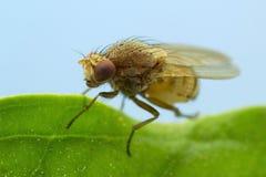Mycket liten bruntfluga Arkivfoto