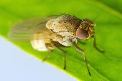 Mycket liten bruntfluga Royaltyfria Bilder