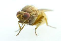 Mycket liten bruntfluga som isoleras på vit Arkivfoton