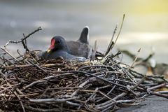 Mycket liten fågel på rede Arkivfoton