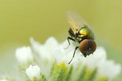 Mycket liten fluga Arkivbilder