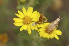 Mycket liten gräshoppa på en gul blomma Arkivfoto