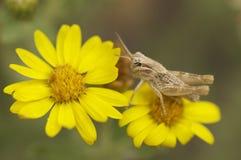 Mycket liten gräshoppa på en gul blomma Royaltyfri Bild