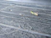 Mycket liten gräshoppatapet royaltyfri bild