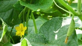 Mycket liten grön gurka som växer i trädgården bredvid den gula blomman med biet arkivfilmer