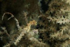 Mycket liten gul pygméseahorsevuxen människa och tonåring på havsfan Royaltyfri Fotografi