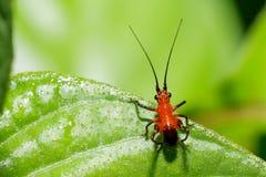 Mycket liten härlig asiatisk röd och svart lång horn- gräshoppa Royaltyfri Bild