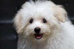 Mycket liten hund för Shihtzu valpavel Arkivfoton