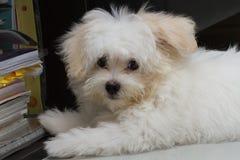 Mycket liten hund för Shihtzu valpavel Royaltyfri Bild