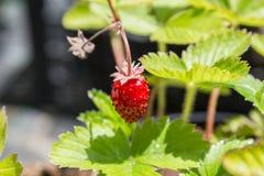 Mycket liten jordgubbe och dess växt Royaltyfria Bilder