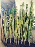 Mycket liten kaktus royaltyfria foton