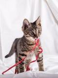 Mycket liten katt med pappersexercins Royaltyfri Fotografi