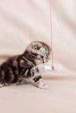 Mycket liten kattdjur Royaltyfri Fotografi