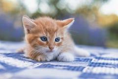 mycket liten kattunge Royaltyfri Fotografi