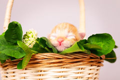 Mycket liten kattunge i korg Fotografering för Bildbyråer