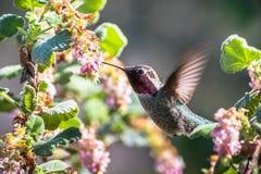 Mycket liten kolibri för Anna ` som s dricker nektar royaltyfri fotografi