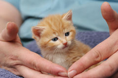 mycket liten ljust rödbrun kattunge Arkivbilder