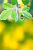 Mycket liten nyckelpiga på sidor, slut upp med vibrerande fantastiska färger Fotografering för Bildbyråer