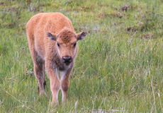 Mycket liten nyfödd bisonkalv Arkivfoton