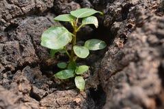 Mycket liten peepal växt Arkivbilder