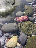 Mycket liten röd krabba Royaltyfria Foton