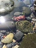 Mycket liten röd krabba Royaltyfri Bild