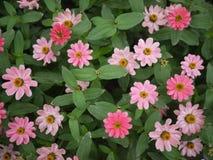 Mycket liten rosa Zinnia Royaltyfri Fotografi