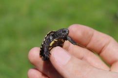 Mycket liten sköldpadda arkivfoto