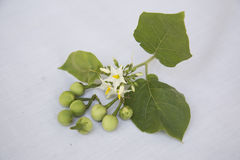 Mycket liten Solanum Arkivfoton