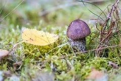 Mycket liten sopp för svartbruntlock i skog Arkivfoto