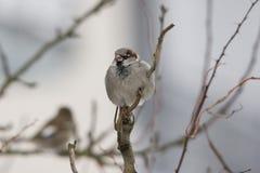 Mycket liten Sparrow Royaltyfri Fotografi
