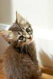 Mycket liten strimmig kattkattunge som stirrar på kameran Fotografering för Bildbyråer