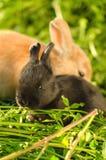 Mycket liten svart kanin som vilar med stor orange kanin Arkivbild