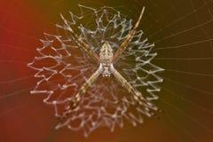 Mycket liten trädgårds- spindel Arkivfoton