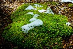 Mycket liten växt med snö Arkivfoto