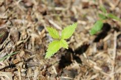 Mycket liten växtgrodd Royaltyfri Fotografi
