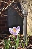 Mycket liten vårblomma och trädgårdlampa Arkivfoto