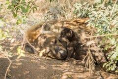 Mycket liten valp för prickig hyena med modern Arkivbilder