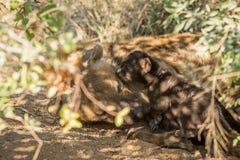 Mycket liten valp för prickig hyena med modern Royaltyfria Bilder