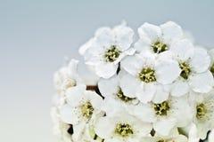 mycket liten white för bukettblommamakro Arkivfoto
