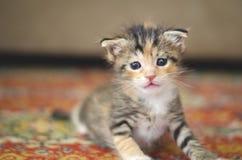 Mycket litet behandla som ett barn katten som lär att gå på en röd matta royaltyfri foto