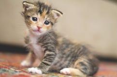 Mycket litet behandla som ett barn katten som lär hur man går och står på en röd matta royaltyfria bilder