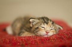 Mycket litet behandla som ett barn katten som sover på en röd filt arkivbild