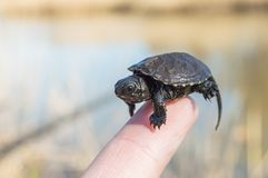 Mycket litet eller småbarnet av sköldpaddan är på spetsen av pekfingret med det mycket lilla skalet, huvudet och ben som är nära  royaltyfria foton