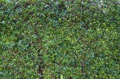 Mycket litet grönt blad, träd Arkivfoto